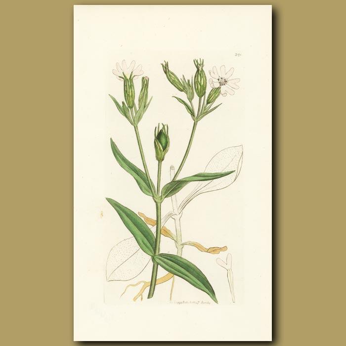 Antique print. Night-Flowering Catchfly