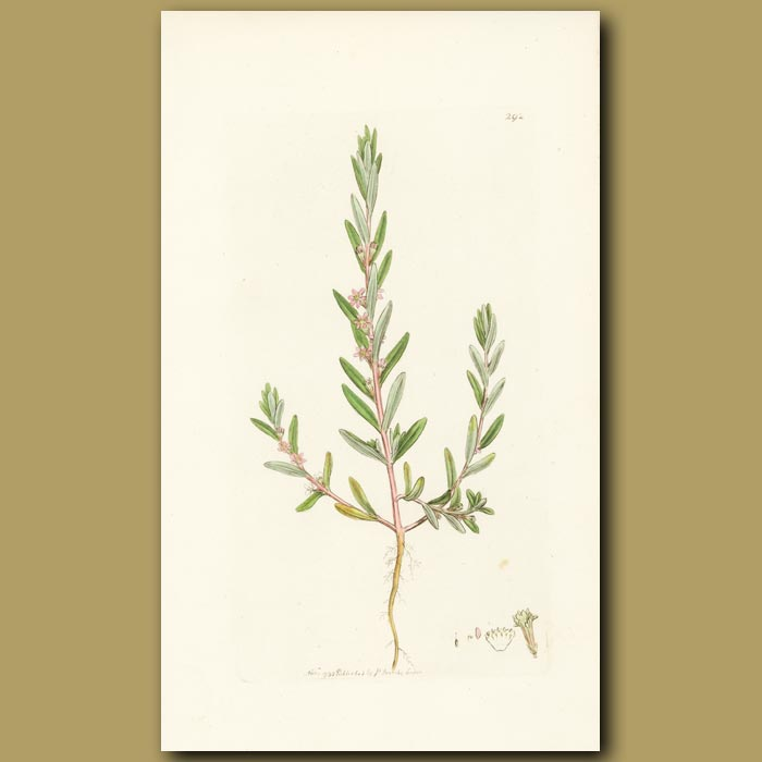 Antique print. Hyssop-Leaved Grass-Poly