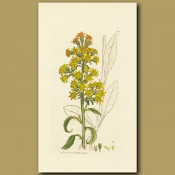 Common Golden-Rod