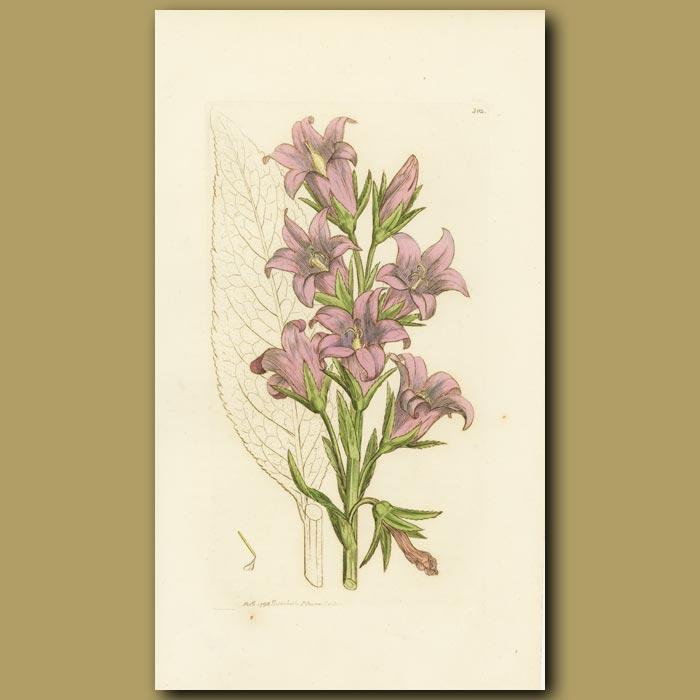 Antique print. Giant Bell-Flower