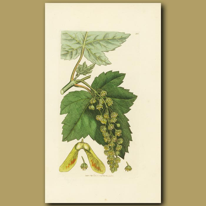 Antique print. Greater Maple Or Sycamore