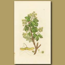 Common Maple