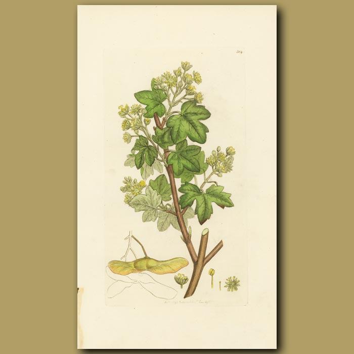 Antique print. Common Maple