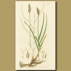 Oval Spiked Or Naked Carex