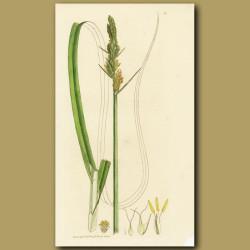 Great Carex