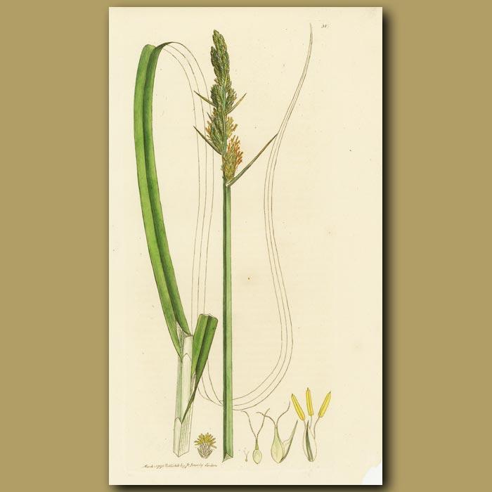 Antique print. Great Carex