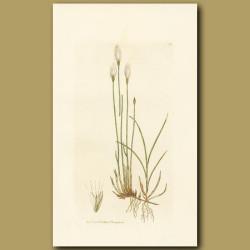 Alpinecotton Grass