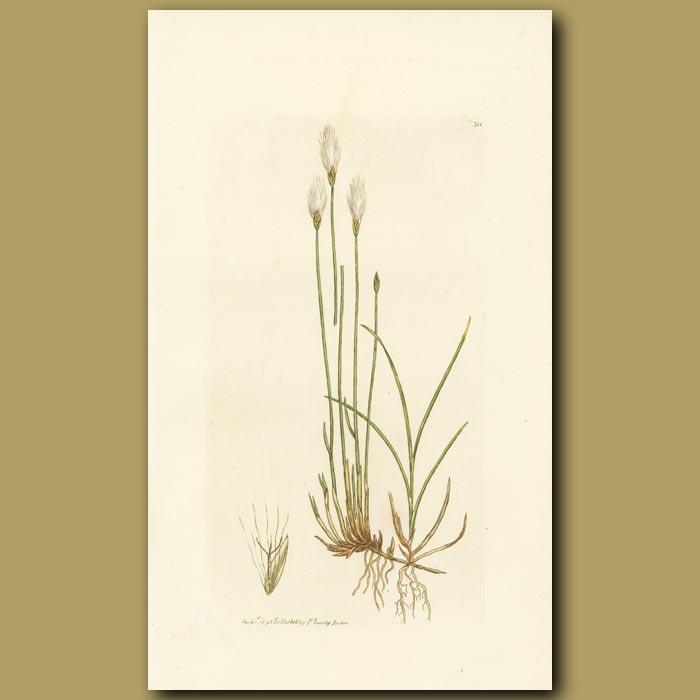 Antique print. Alpinecotton Grass
