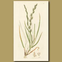 Perennial Darnel Or Rye Grass