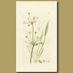 Lesser Water Plantain