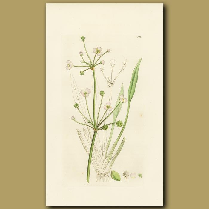 Antique print. Lesser Water Plantain