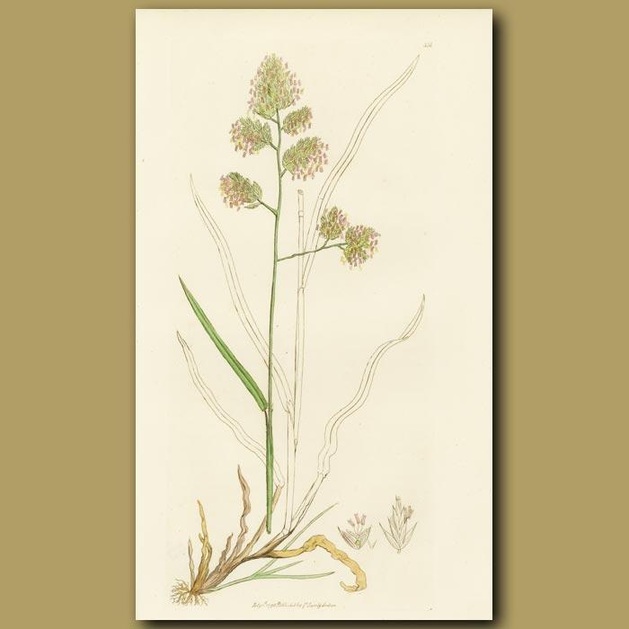 Antique print. Rough Cock's Foot Grass