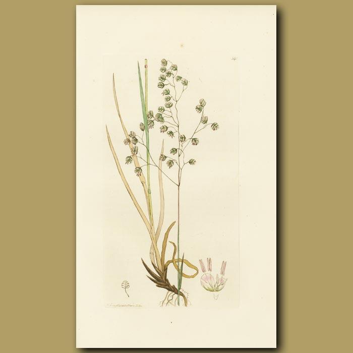 Antique print. Common Quaking Grass