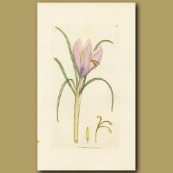 Saffron Or Autumnal Crocus