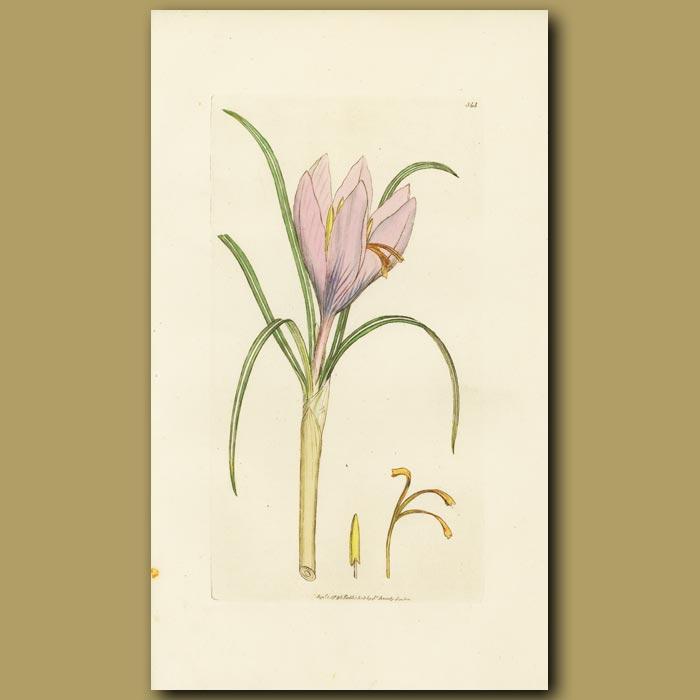 Antique print. Saffron Or Autumnal Crocus