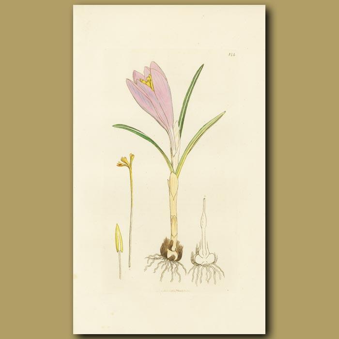 Antique print. Spring Crocus