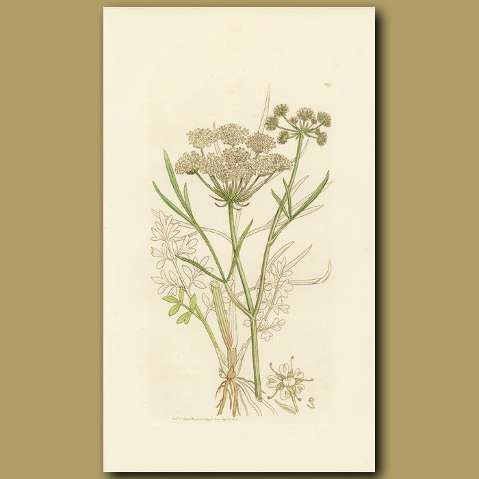 Antique print. Parsley Water-Dropwort