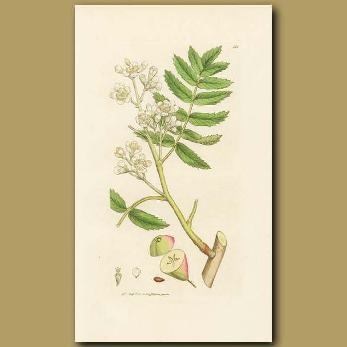 Antique print. Service Tree