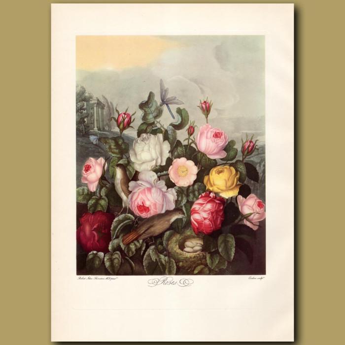 Roses: Genuine antique print for sale.