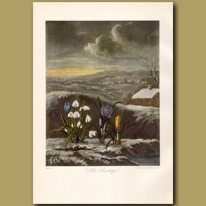 The Snowdrop: Genuine antique print for sale.