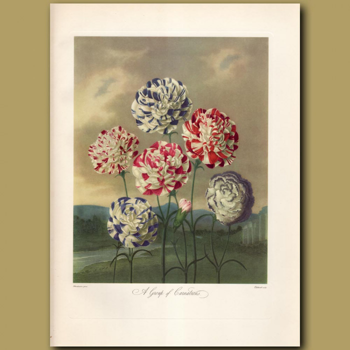 A Group of Carnations: Genuine antique print for sale.
