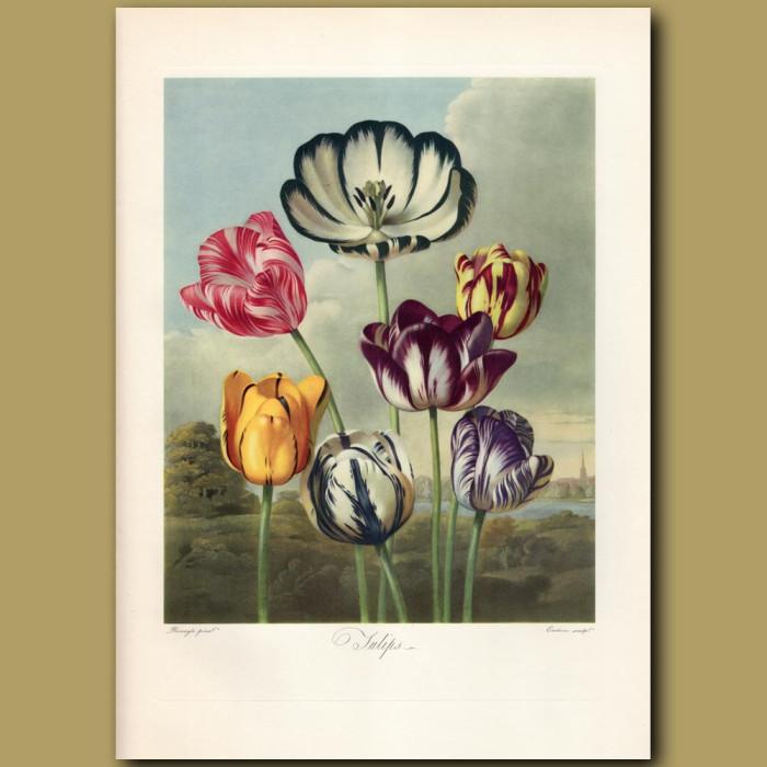 Tulips: Genuine antique print for sale.