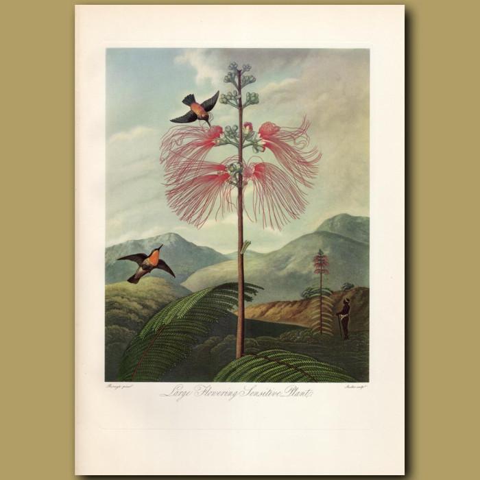 Large Flowering Sensitive Plant: Genuine antique print for sale.