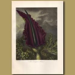 The Dragon Arum