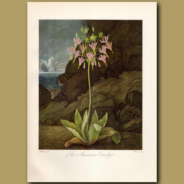 The American Cowslip: Genuine antique print for sale.