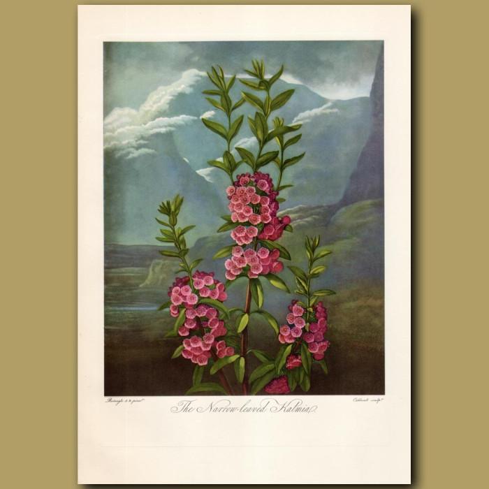 The Narrow-leaved Kalmia: Genuine antique print for sale.