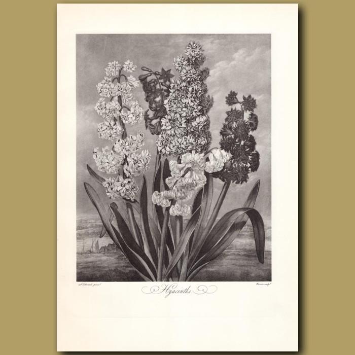 Hyacinths: Genuine antique print for sale.
