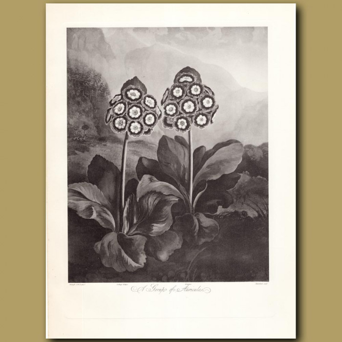 A Group of Auriculas: Genuine antique print for sale.
