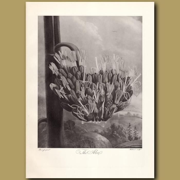 The Aloe: Genuine antique print for sale.