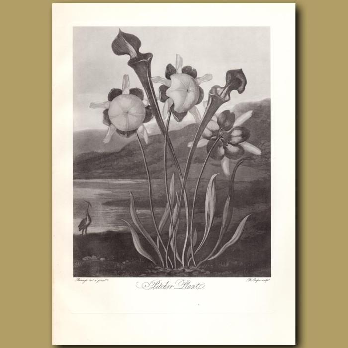 Pitcher Plant: Genuine antique print for sale.
