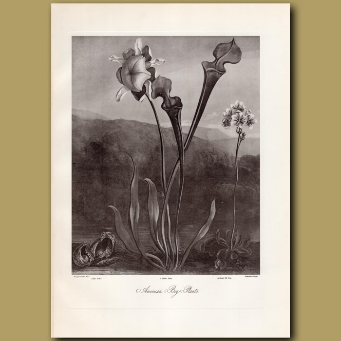 American Bog Plants: Genuine antique print for sale.