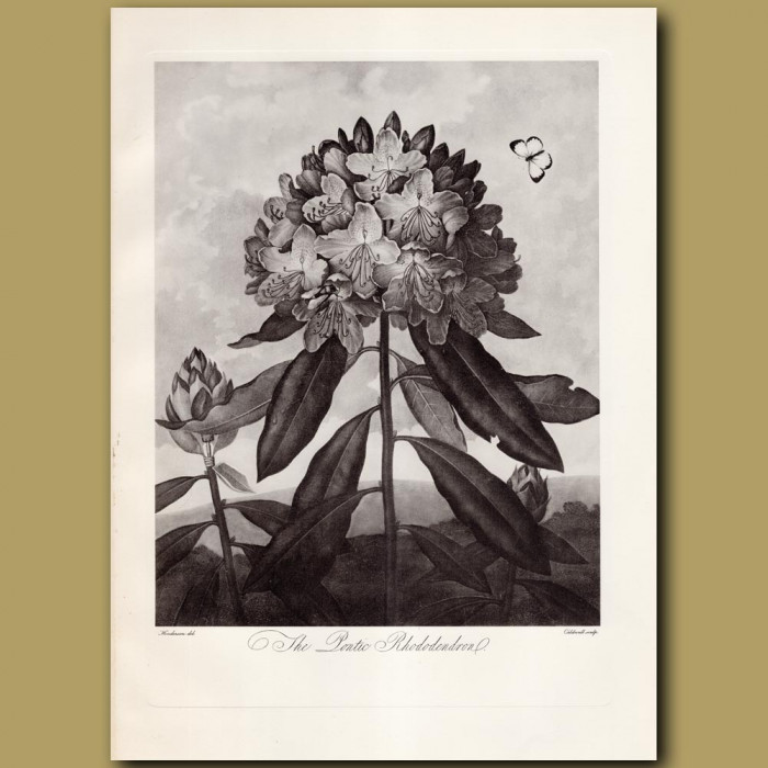 The Pontic Rhododendron: Genuine antique print for sale.