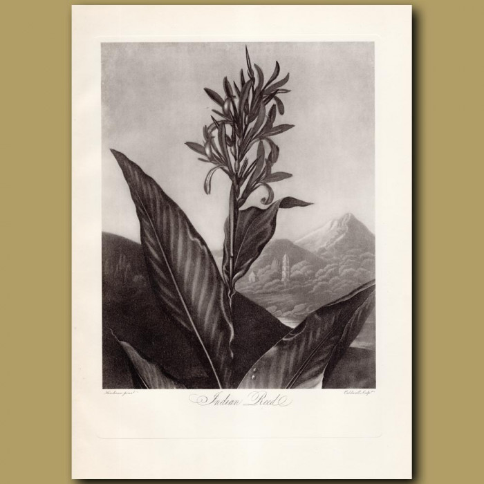 The Indian Reed: Genuine antique print for sale.