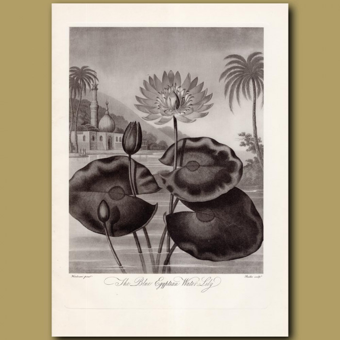 The Blue Egyptian Water Lily: Genuine antique print for sale.