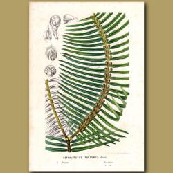 Plum Yew - Cephalotaxus fortunei