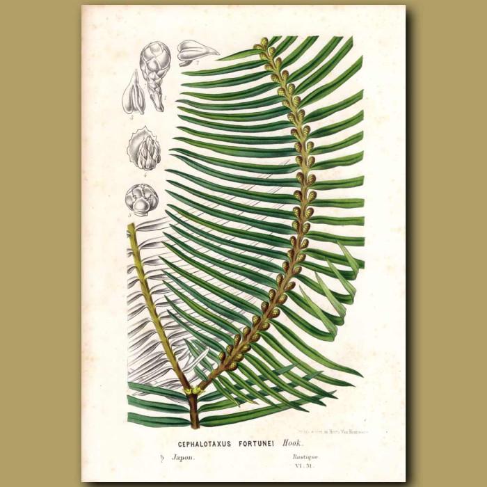 Antique print. Plum Yew - Cephalotaxus fortunei