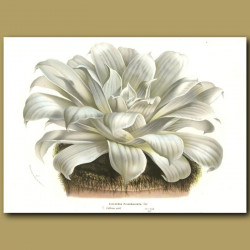 Echeveria Pulverulenta