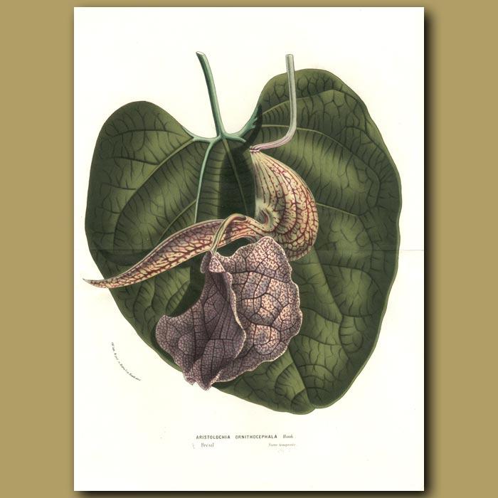 Antique print. Dutchman's Pipe: Aristolochia ornithocephala