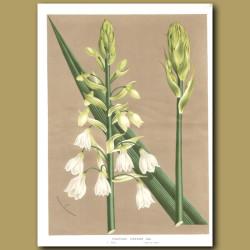 Hyacinth: Hyacinthus Candicans