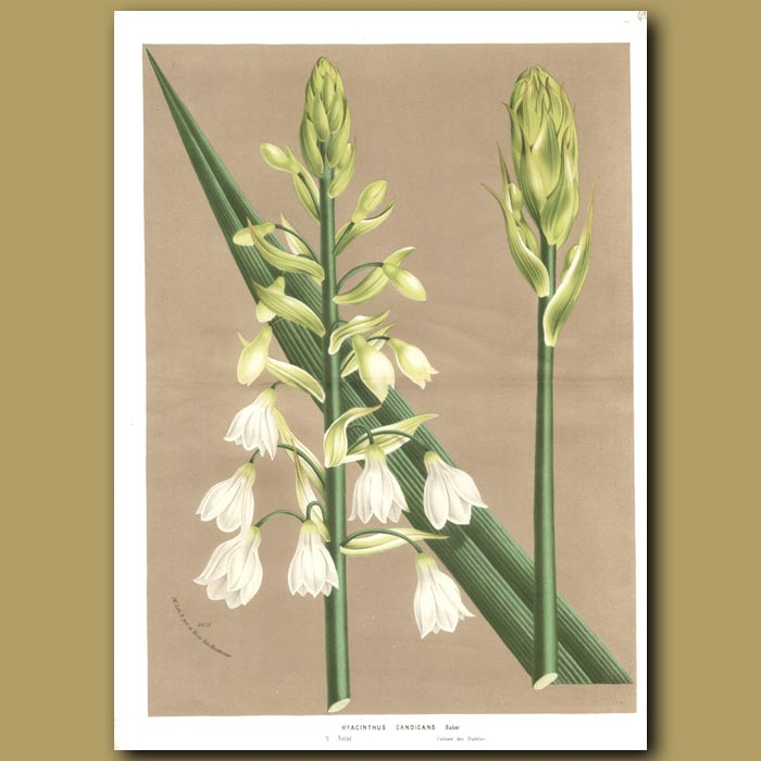Antique print. Hyacinth: Hyacinthus candicans