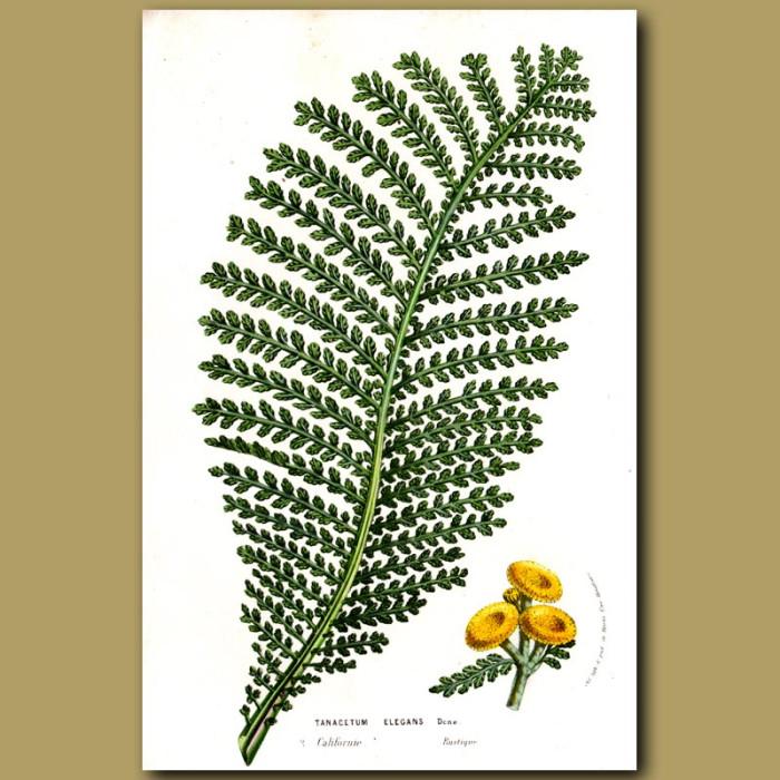 Wild Californian Chrysanthemum. Amaryllis