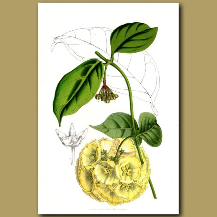 Antique print. Hoya kenejiana