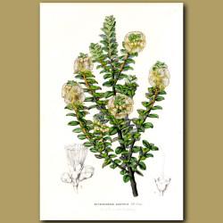Yellow Pohutukawa (Metrosideros Buxifolia)