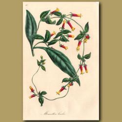 Manettia: Manettia Bicolor