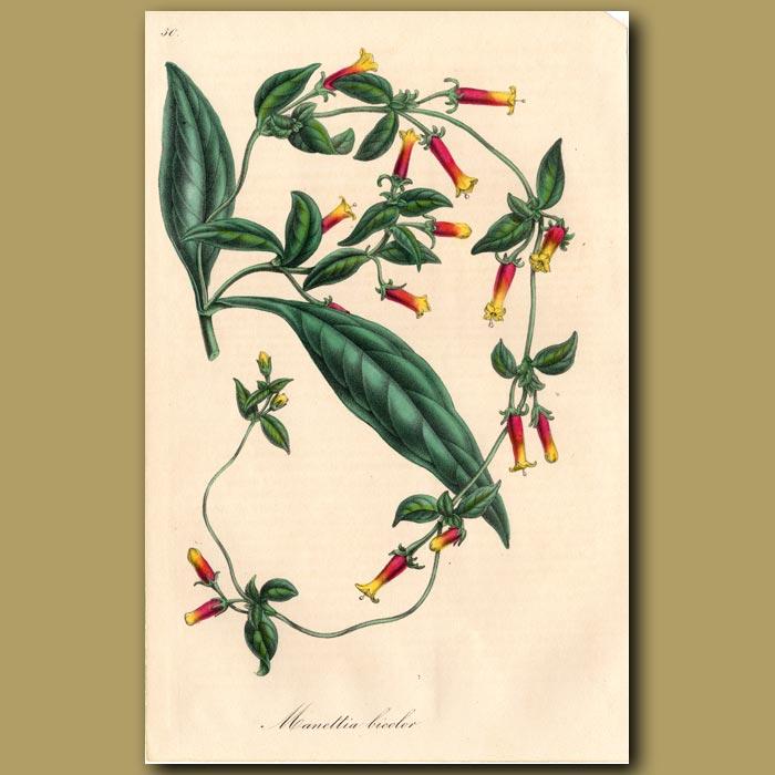 Antique print. Manettia: Manettia Bicolor