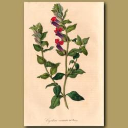 Mexican Cuphea: Cuphea Miniata